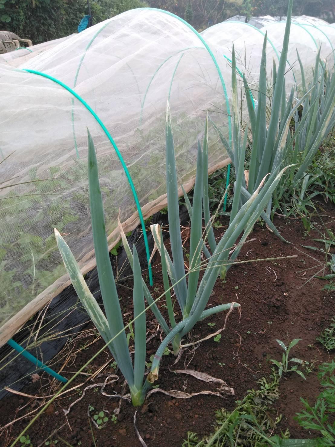 出来るだけ台風対策・・・茄子は小さくても収穫しました_c0222448_11485605.jpg
