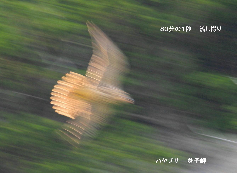 流し撮りの時代  シロハヤブサ ヤマセミ キョクアジサシなど_c0229170_20591202.jpg