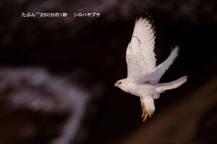 流し撮りの時代  シロハヤブサ ヤマセミ キョクアジサシなど_c0229170_20593779.jpg