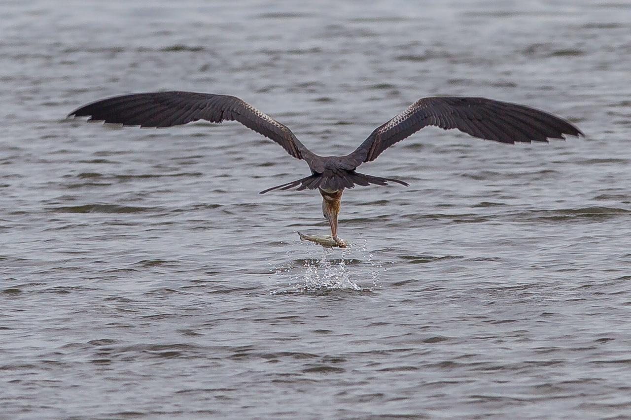 オオグンカンドリ      餌を捕るオオグンカンドリ幼鳥_a0052080_22014839.jpg