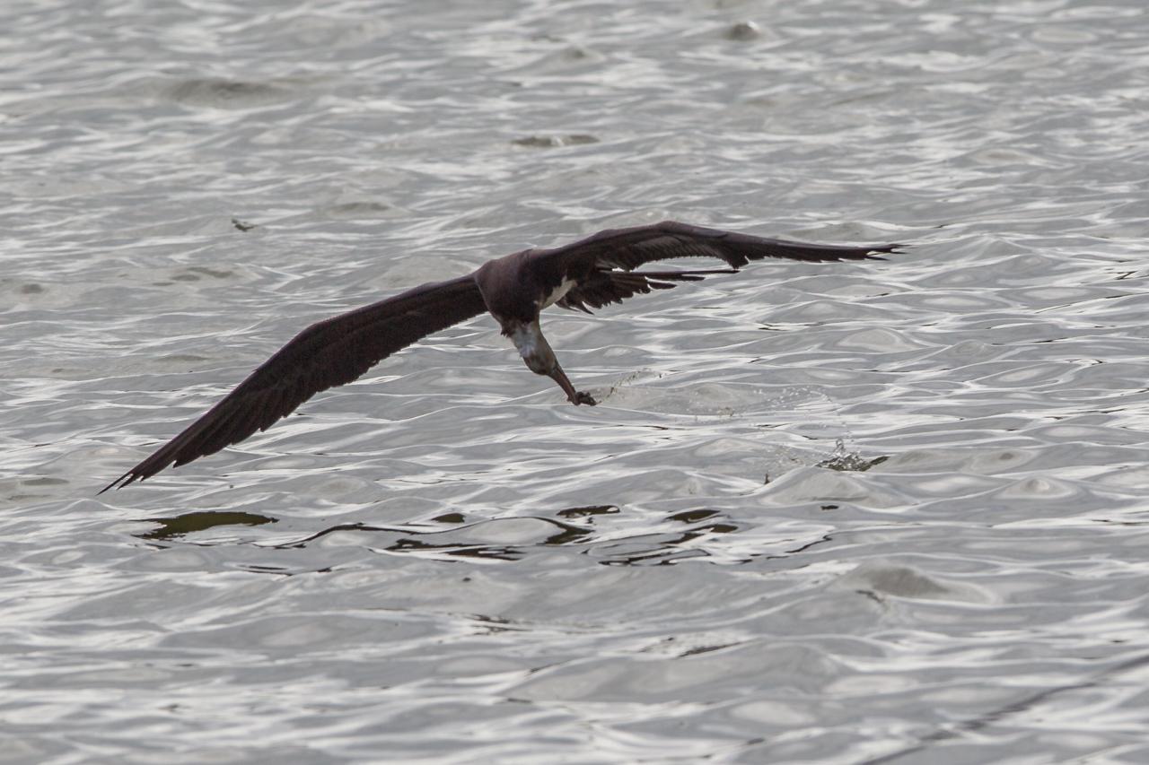 オオグンカンドリ      餌を捕るオオグンカンドリ幼鳥_a0052080_22183275.jpg