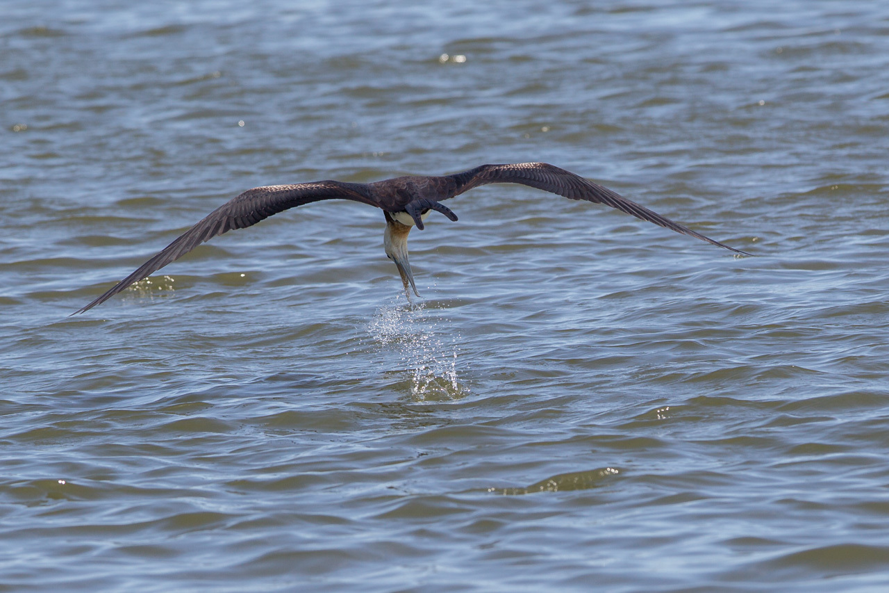 オオグンカンドリ      餌を捕るオオグンカンドリ幼鳥_a0052080_22241728.jpg