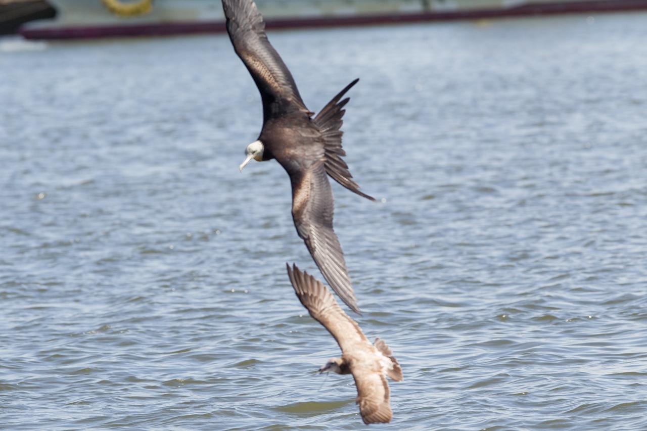 オオグンカンドリ      餌を捕るオオグンカンドリ幼鳥_a0052080_22271478.jpg