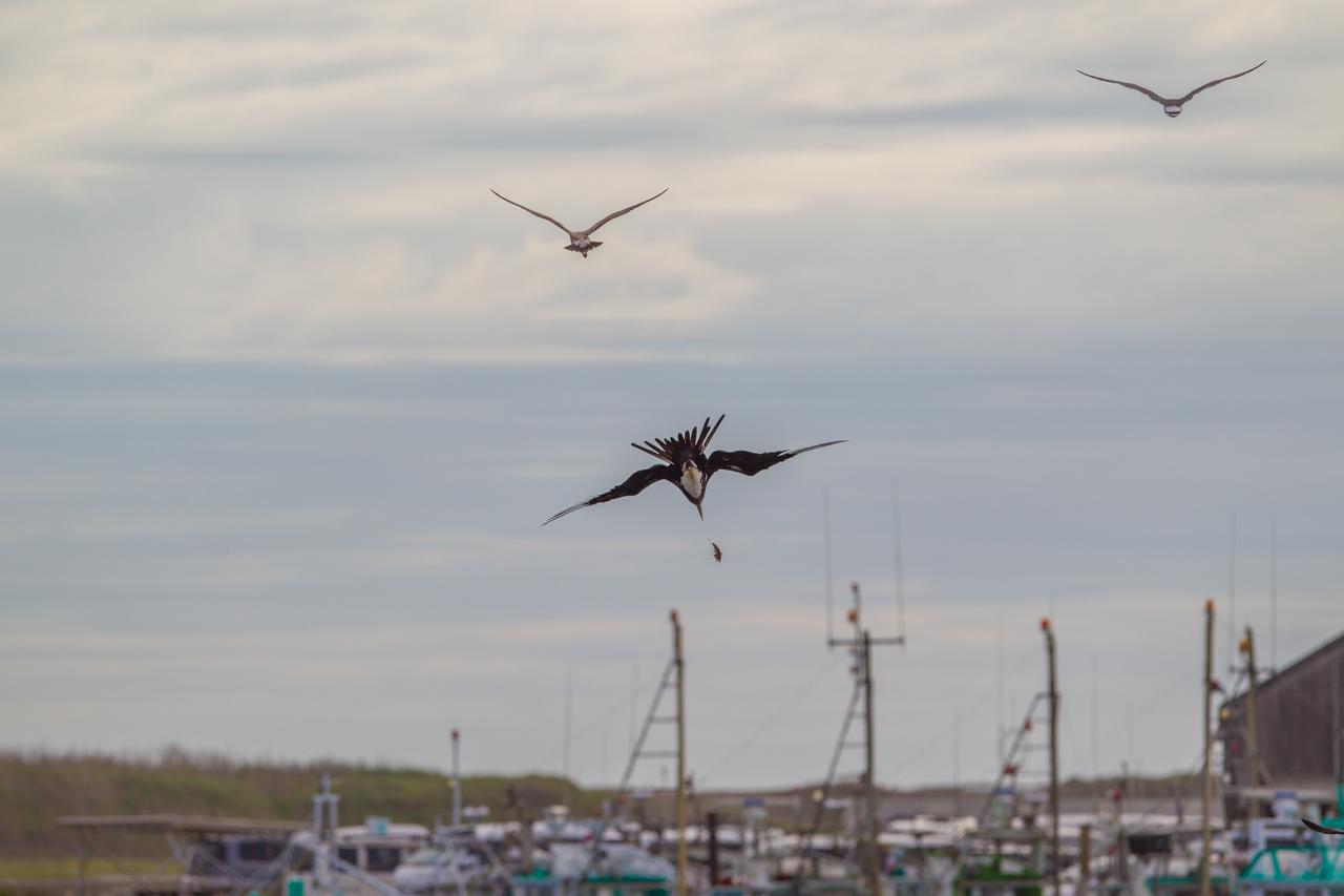 オオグンカンドリ      餌を捕るオオグンカンドリ幼鳥_a0052080_22511905.jpg
