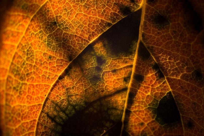 Persimmon Leaves Perplexed With Extreme Proximity_d0353489_15252596.jpg