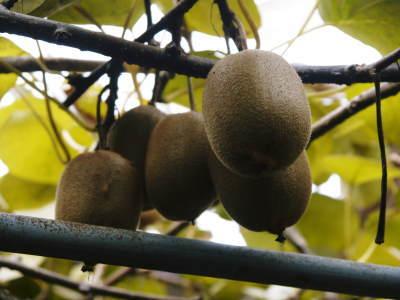 水源キウイ 収穫は例年より少し早く11月上旬の予定!今年も完全無農薬・無化学肥料で育てています!_a0254656_16192685.jpg