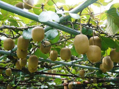 水源キウイ 収穫は例年より少し早く11月上旬の予定!今年も完全無農薬・無化学肥料で育てています!_a0254656_16251061.jpg
