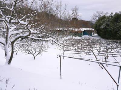 水源キウイ 収穫は例年より少し早く11月上旬の予定!今年も完全無農薬・無化学肥料で育てています!_a0254656_16533472.jpg