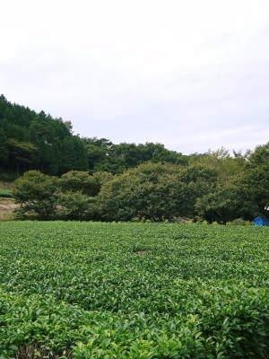 水源キウイ 収穫は例年より少し早く11月上旬の予定!今年も完全無農薬・無化学肥料で育てています!_a0254656_17015433.jpg