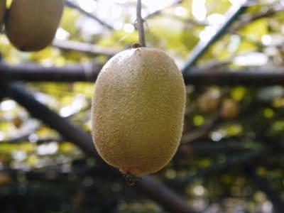 水源キウイ 収穫は例年より少し早く11月上旬の予定!今年も完全無農薬・無化学肥料で育てています!_a0254656_17351263.jpg