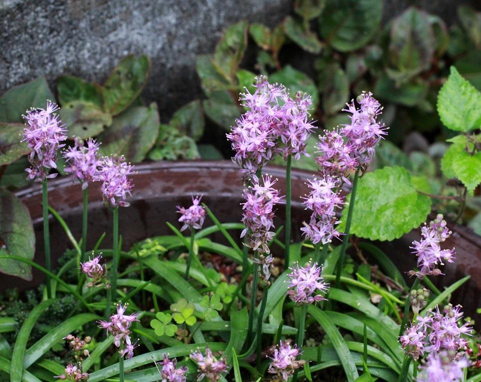 心のこもった花々を植える ~ツルボ~_a0107574_15281342.jpg