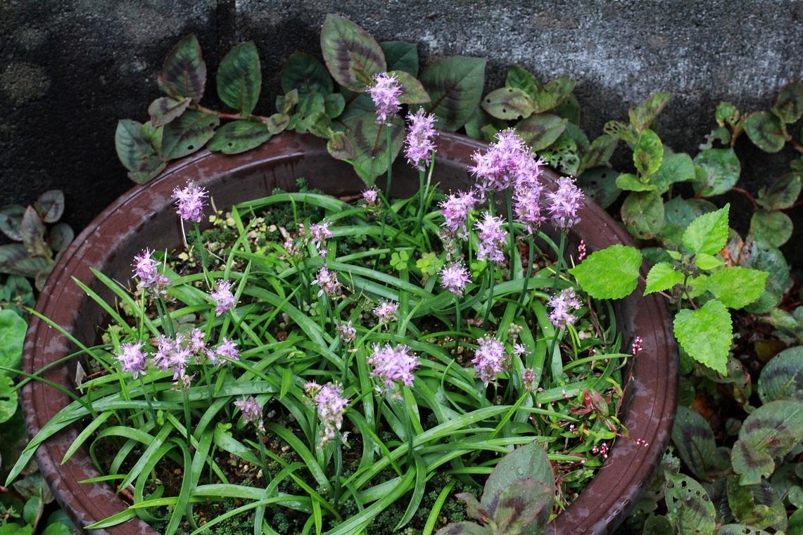 心のこもった花々を植える ~ツルボ~_a0107574_15282267.jpg