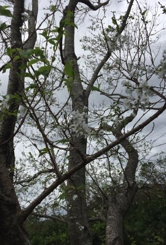 桜の花が_d0141987_15212825.jpeg
