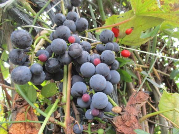 葡萄の収穫&トマトソース作り_a0279743_10325503.jpg