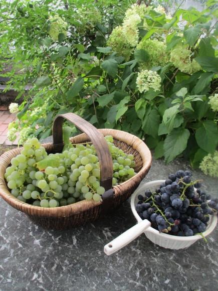 葡萄の収穫&トマトソース作り_a0279743_10331028.jpg