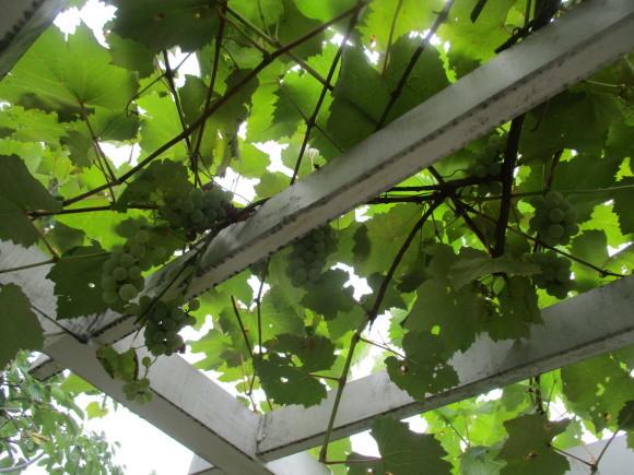 葡萄の収穫&トマトソース作り_a0279743_10332514.jpg