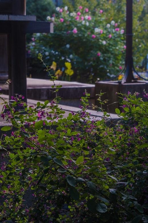 初秋の花咲く本満寺_e0363038_13522509.jpg