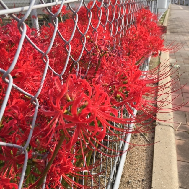 〝秋〟を感じる彼岸花。_b0112371_13412937.jpg