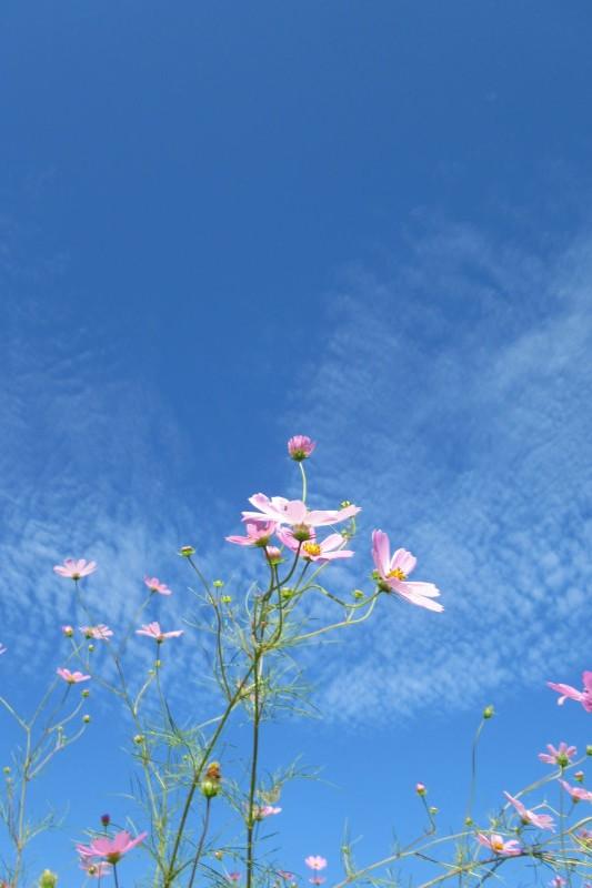 青空の下コスモス満開_e0048413_21182406.jpg