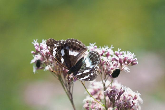 メスグロヒョウモン 蝶の庭にて_d0149245_15263450.jpg