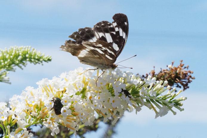メスグロヒョウモン 蝶の庭にて_d0149245_15263989.jpg