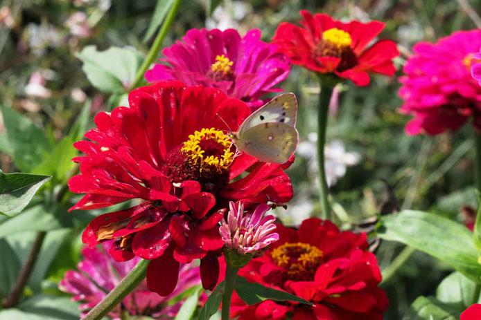 ウラギンヒョウモンとモンキチョウ  蝶の庭にて_d0149245_21081545.jpg