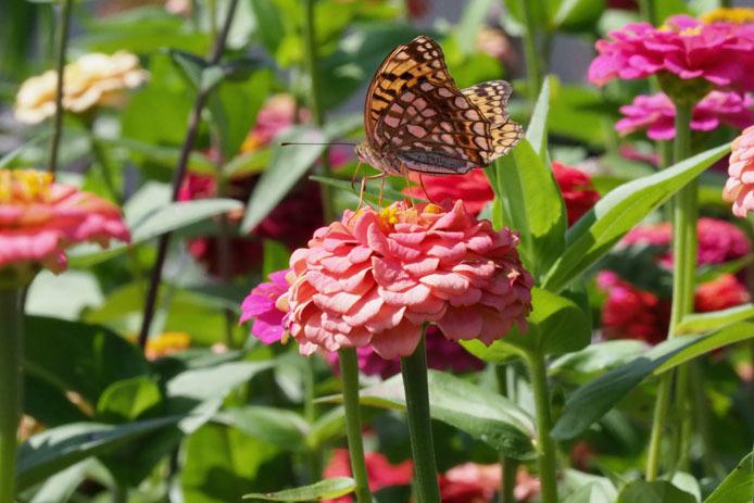 ウラギンヒョウモンとモンキチョウ  蝶の庭にて_d0149245_21082311.jpg