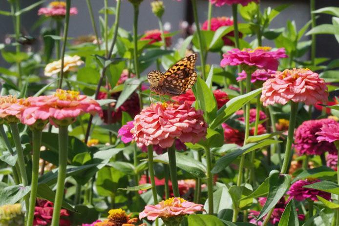 ウラギンヒョウモンとモンキチョウ  蝶の庭にて_d0149245_21082929.jpg