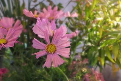 オークリーフ(秋の菊)_f0049672_12592924.jpg