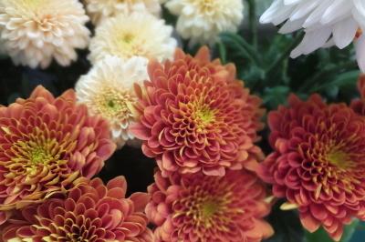 オークリーフ(秋の菊)_f0049672_12595126.jpg