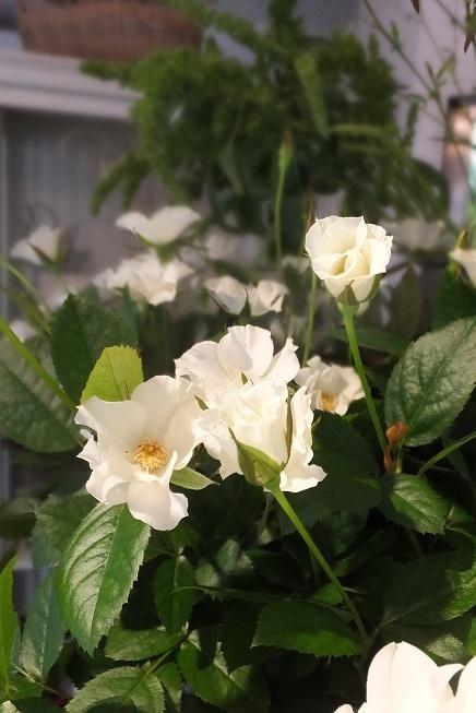 オークリーフ(秋の菊)_f0049672_13030128.jpg