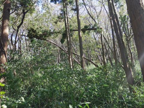 六国見山森林公園でスギの中折れが多発9・30台風24号被害①_c0014967_08311748.jpg