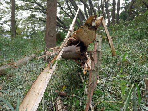 六国見山森林公園でスギの中折れが多発9・30台風24号被害①_c0014967_08313476.jpg