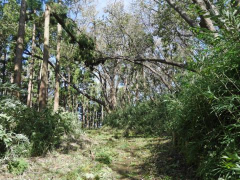 六国見山森林公園でスギの中折れが多発9・30台風24号被害①_c0014967_08330593.jpg