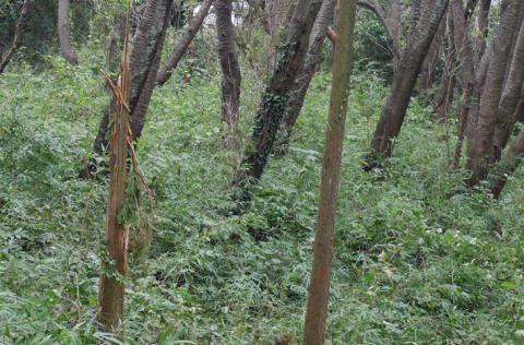 六国見山森林公園でスギの中折れが多発9・30台風24号被害①_c0014967_08333960.jpg