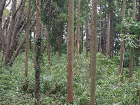 六国見山森林公園でスギの中折れが多発9・30台風24号被害①_c0014967_08335356.jpg