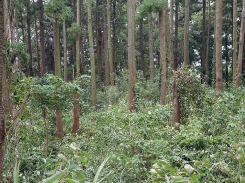六国見山森林公園でスギの中折れが多発9・30台風24号被害①_c0014967_08341477.jpg