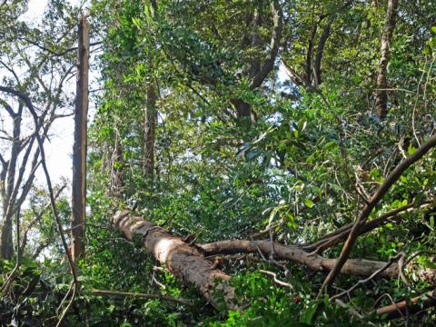 六国見山森林公園でスギの中折れが多発9・30台風24号被害①_c0014967_08343676.jpg