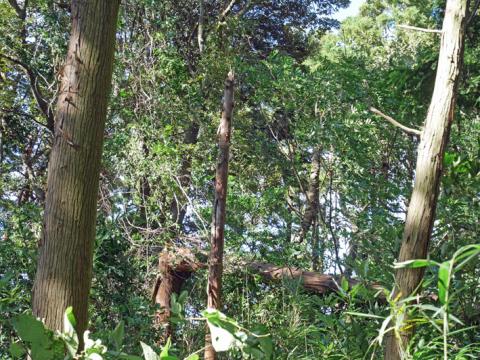 六国見山森林公園でスギの中折れが多発9・30台風24号被害①_c0014967_08345386.jpg