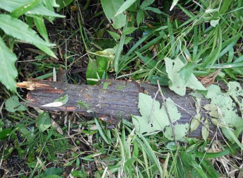 六国見山森林公園でスギの中折れが多発9・30台風24号被害①_c0014967_08351034.jpg