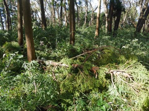 六国見山森林公園でスギの中折れが多発9・30台風24号被害①_c0014967_08372546.jpg