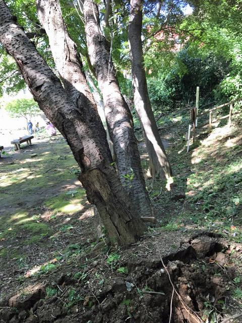 六国見山森林公園でスギの中折れが多発9・30台風24号被害①_c0014967_08374937.jpg