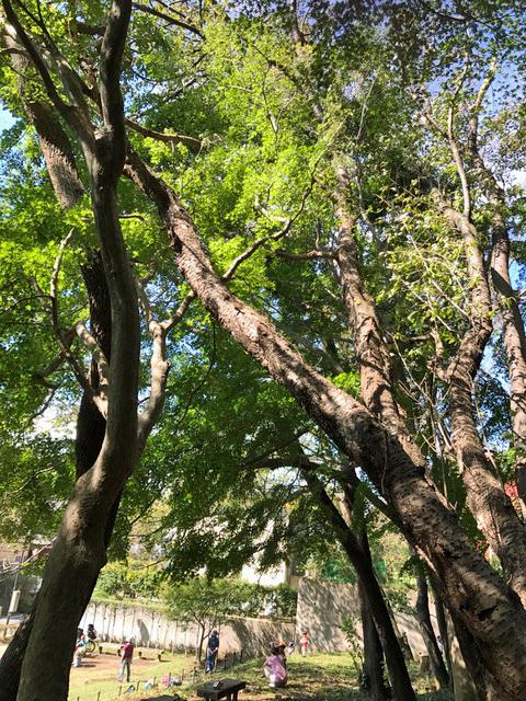 六国見山森林公園でスギの中折れが多発9・30台風24号被害①_c0014967_08380103.jpg
