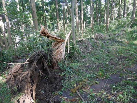 六国見山森林公園でスギの中折れが多発9・30台風24号被害①_c0014967_08383996.jpg