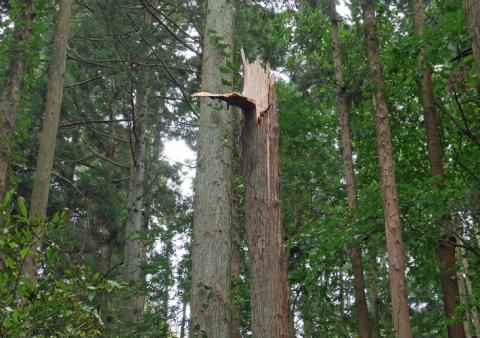 六国見山森林公園でスギの中折れが多発9・30台風24号被害①_c0014967_08415253.jpg
