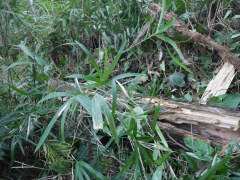 六国見山森林公園でスギの中折れが多発9・30台風24号被害①_c0014967_08420735.jpg
