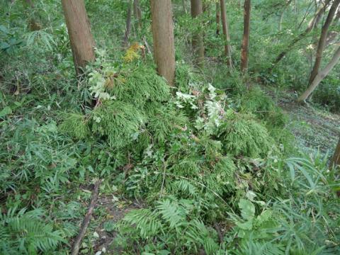 六国見山森林公園でスギの中折れが多発9・30台風24号被害①_c0014967_08422135.jpg