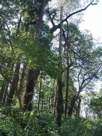 六国見山森林公園でスギの中折れが多発9・30台風24号被害①_c0014967_08424575.jpg