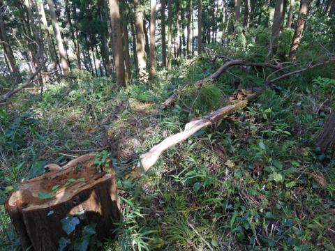 六国見山森林公園でスギの中折れが多発9・30台風24号被害①_c0014967_08430324.jpg