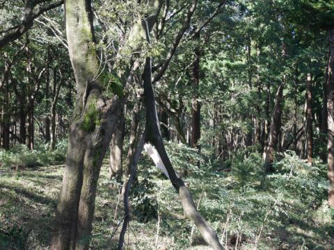 六国見山森林公園でスギの中折れが多発9・30台風24号被害①_c0014967_08440974.jpg